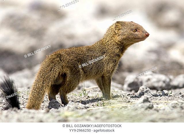Slender mongoose (Galerella sanguinea) - Onkolo Hide, Onguma Game Reserve, Namibia, Africa