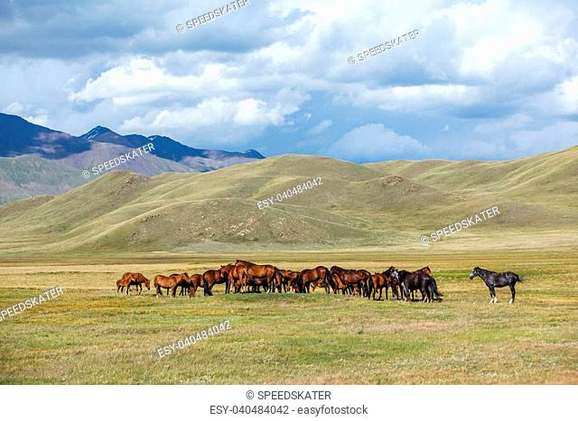 Grazing horses in the field