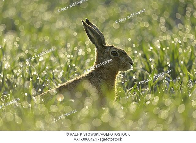 Brown Hare / European Hare ( Lepus europaeus ) sitting in a dew wet field of winter wheat, in first morning sunlight, backlight, wildlife, Europe