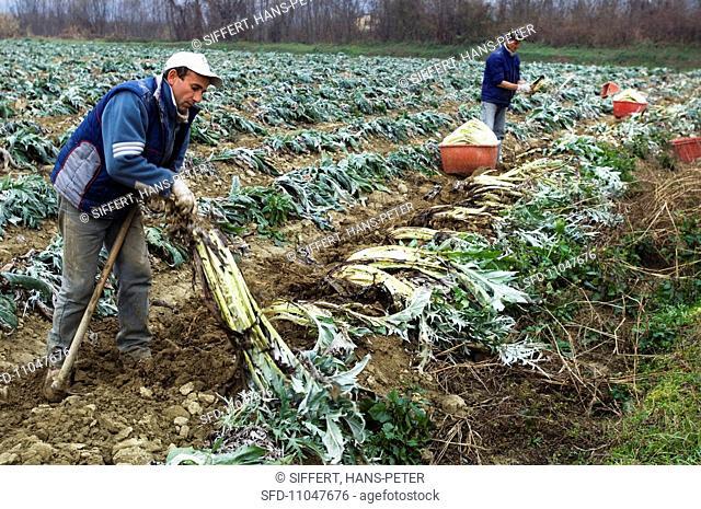 Workers harvesting cardoons Piedmont, Italy