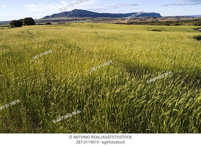 Cereals and Sierra de El Mugrón. Almansa. Albacete. Spain