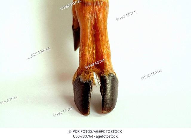 Cloven hoof, Artiodactyla, deer  anatomy, zoology, mastozoology