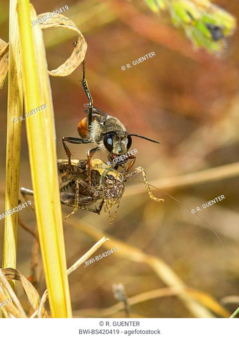 Golden Digger Wasp (Sphex funerarius, Sphex rufocinctus), Female with captured larva of Grey Bush-cricket (Platycleis albopunctata), Germany