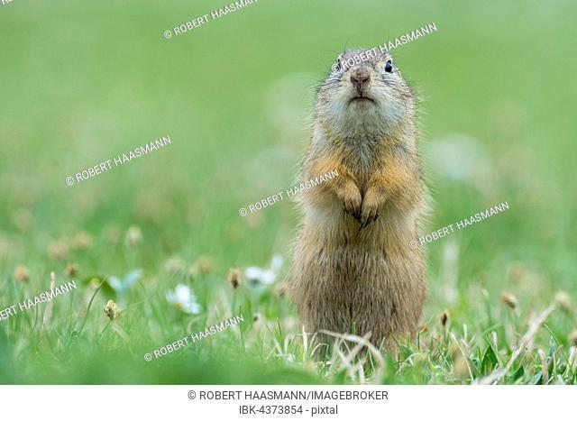 European ground squirrel or souslik (Spermophilus citellus) in meadow, National Park Lake Neusiedl, Burgenland, Austria