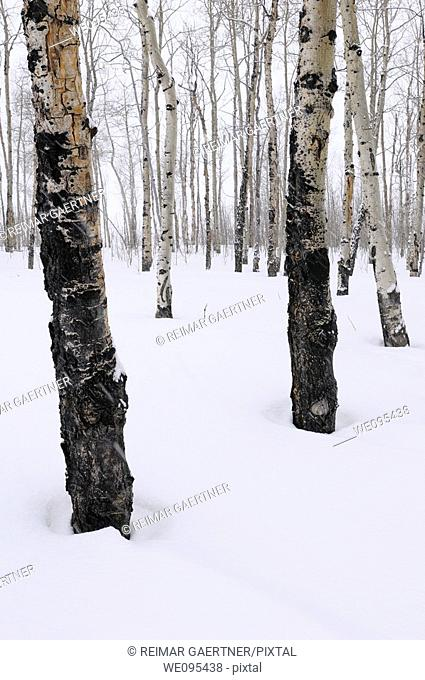 Stand of trembling Aspen trees Populus tremuloides in Grand Teton National Park Wyoming in winter