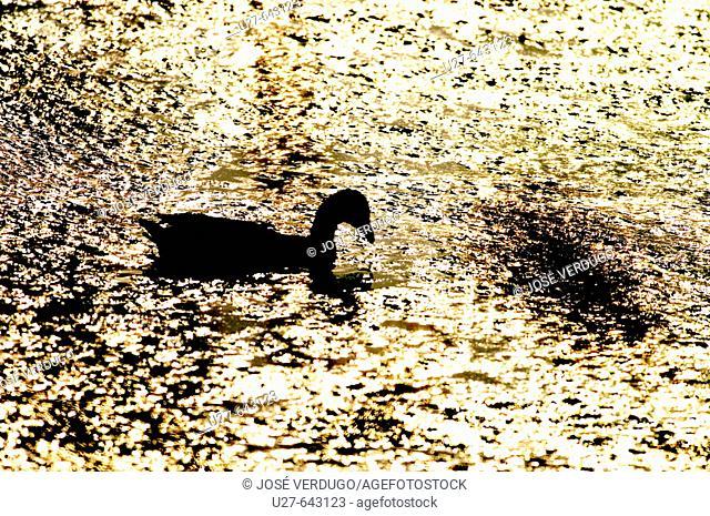 Polla de agua a contra luz, Tablas de Daimiel, La Mancha, España