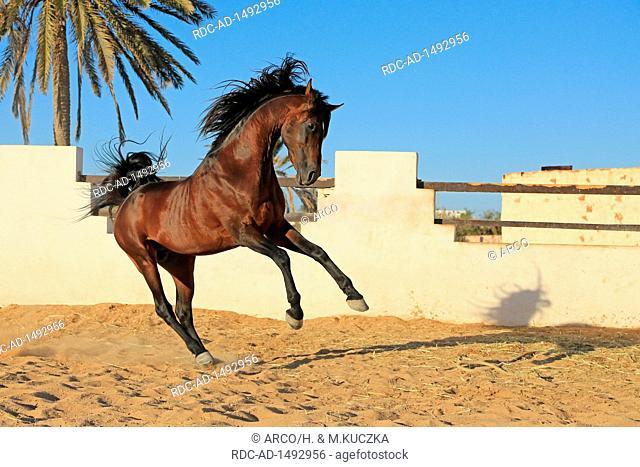 Berberpferd, Haschgalull, Djerba, Tunesien, Afrika