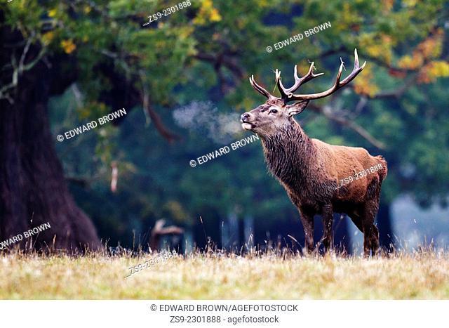 Red deer stag (cervus elaphus) with hot breath, Windsor Great Park, Berkshire,England,UK