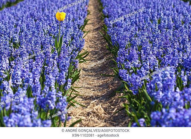 Yellow Tulip in Hyacinths Field, Netherlands