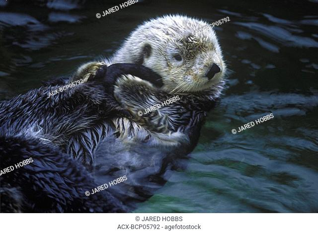 Sea Otters Enhydra lutra are making a slow comeback in BC's coastal areas, British Columbia, Canada