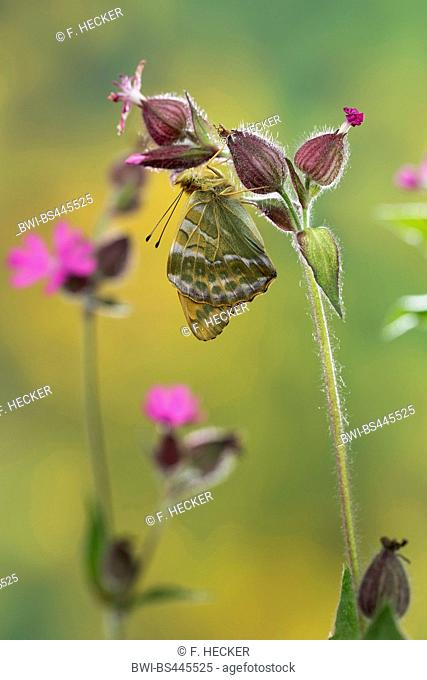 silver-washed fritillary (Argynnis paphia), male at red catchfly, underwing, Germany