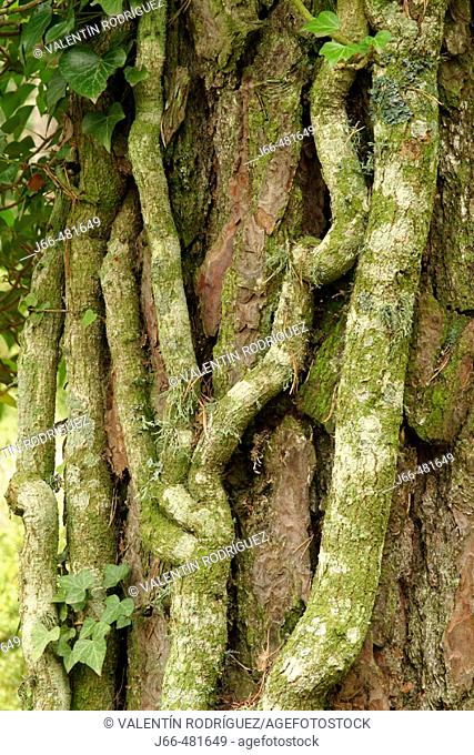 English Ivy  (Hedera helix) tangled in pine trunk