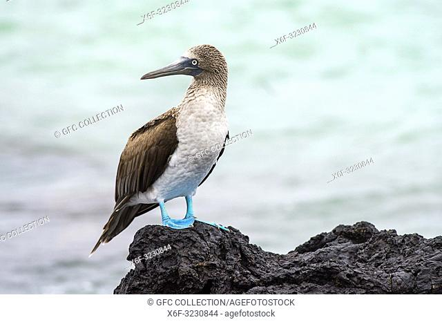 Blue-footed booby (Sulidae), a marine bird of the boobies family (Sulidae), endemic to Galapagos, Isabela Island, Galapagos Islands, Ecuador