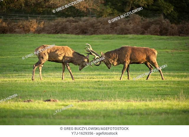 Stags fighting at Bradgate Park