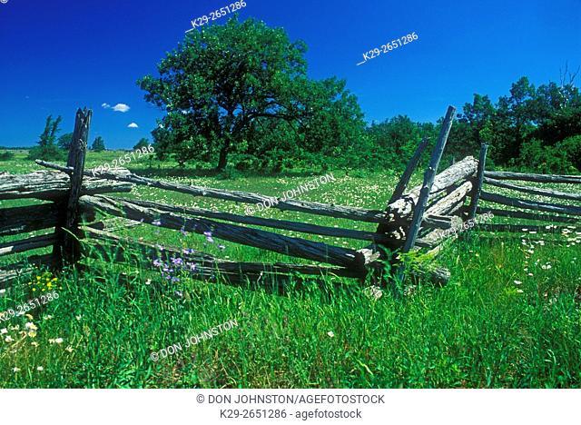 Split-rail fence with oak tree in pasture, near Sheguiandah, Ontario, Canada