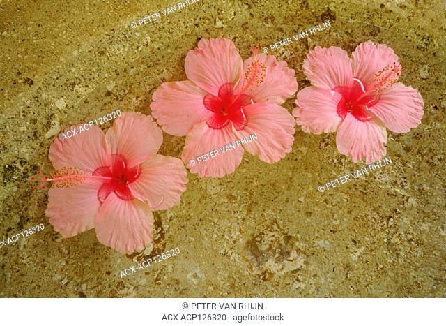 Three pink hibiscus blossoms, Placed in wash basins at the entrance to each bure at Tokoriki Resort, Fiji Islands