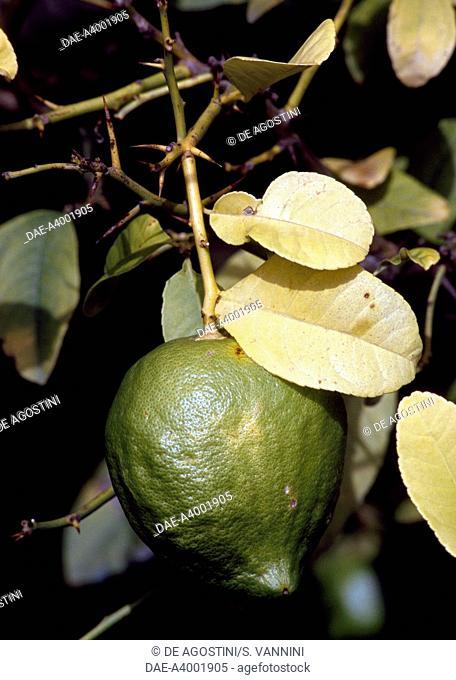 Citron (Citrus medica), Rutaceae, in the citron-tree grove of The Cedars Farm, Santa Domenica Talao, Calabria, Italy