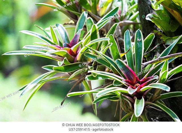 Bromelaids. Image taken at Orchid Garden, Kuching, Sarawak, Malaysia