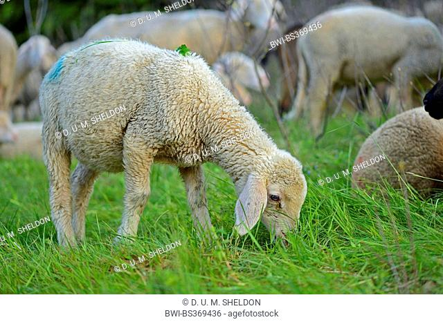 domestic sheep (Ovis ammon f. aries), grazing sheep of a herd of sheep in a meadow, Germany, Bavaria