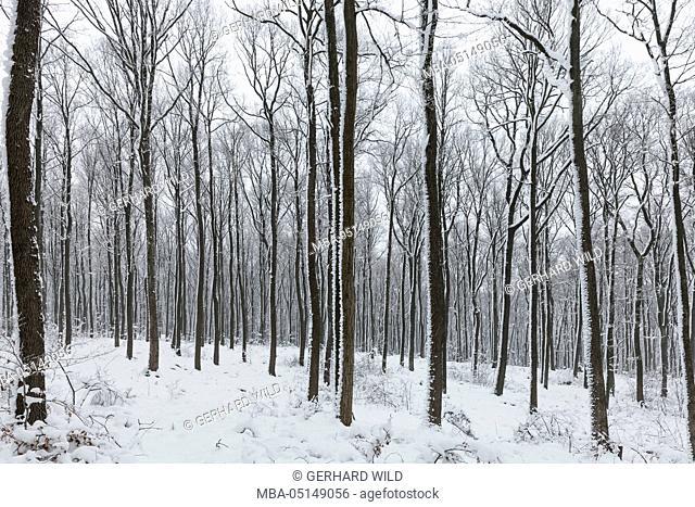 Austria, Vienna Woods, winter, forest, snow