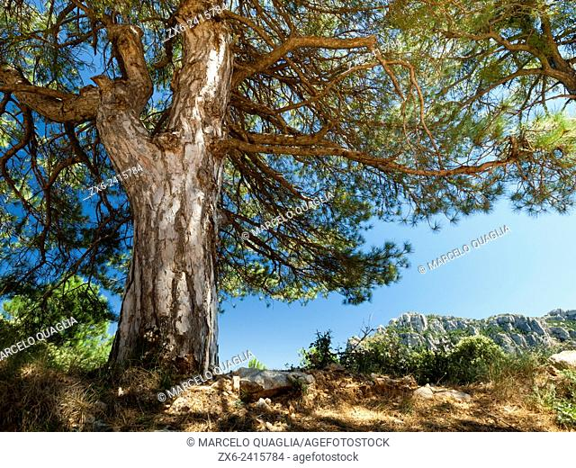 Scots pine or Red Pine tree (Pinus sylvestris). Els Ports Natural Park. Baix Ebre region, Tarragona province, Catalonia, Spain