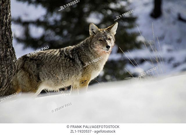 Coyote Canis latrans just gorged its self form the kill Coyotes face is bloody from feeding on the kill while hunting along roadside at Yellowstone National...
