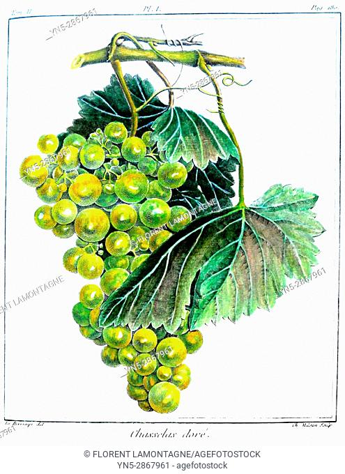Old botanical board of the grappe species Chasselas dore