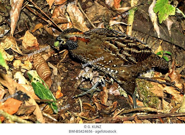 spotted wood quail (Odontophorus guttatus), well camouflaged in understorey, Costa Rica