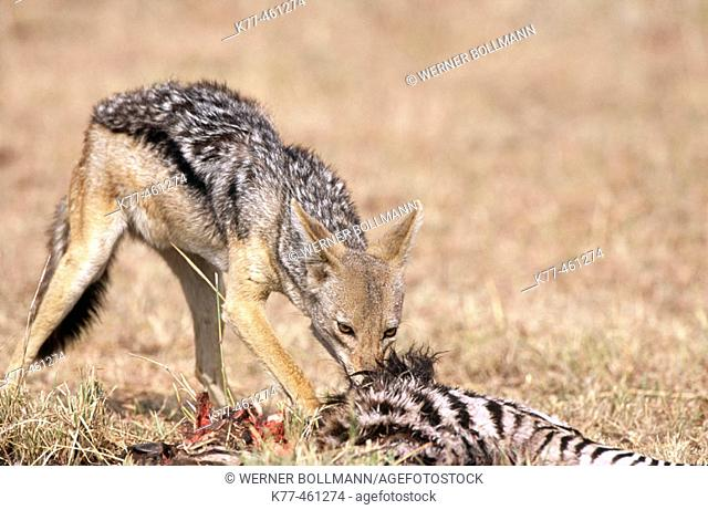 Black-backed Jackal (Canis mesomelas) at a kill. Masai Mara Game Reserve. Kenya