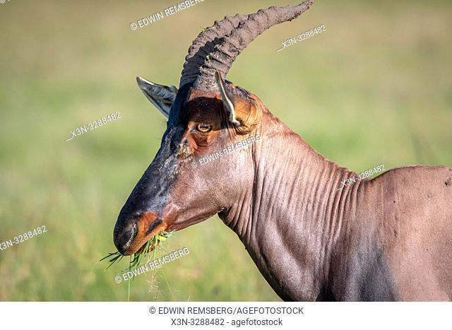 A Topi (Damaliscus lunatus jimela) subspecies of the common tsessebe eating in Maasai Mara National Reserve, Kenya