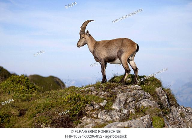 Alpine Ibex Capra ibex immature male, standing on rocks, Niederhorn, Swiss Alps, Bernese Oberland, Switzerland, August