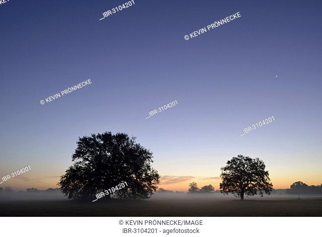 Meadow landscape with solitary oak trees in the morning mist at sunrise