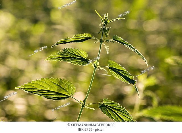 Stinging nettle Urtica dioica Germany