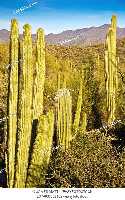 Saguaro and Organ Pipe cactus shine in the setting sun with rugged mountains in the background