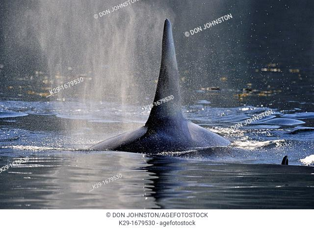 killer whale Orcinus orca Bull member of the Resident pod in its summer salmon feeding territory, Johnstone Strait, Vancouver Is , British Columbia, Canada