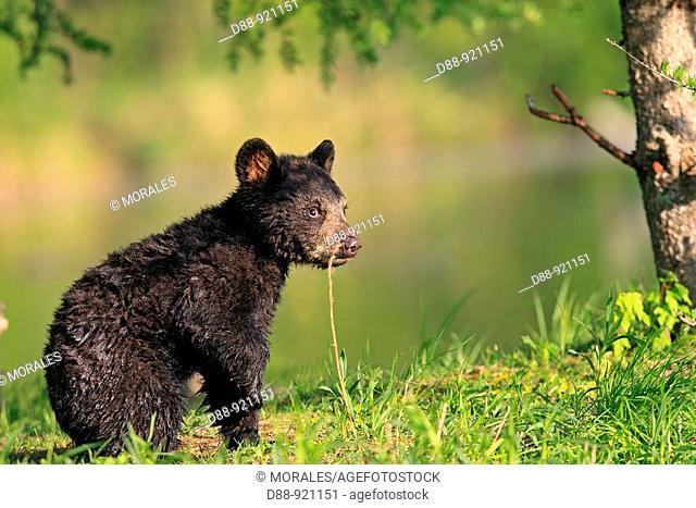 Black Bear (Ursus americanus), 4 month old cub. Minnesota, USA