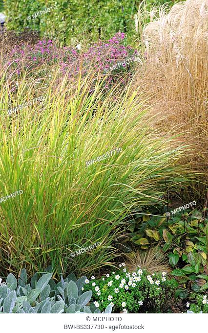 old switch panic grass (Panicum virgatum 'Shenandoah', Panicum virgatum Shenandoah), cultivar Shenandoah