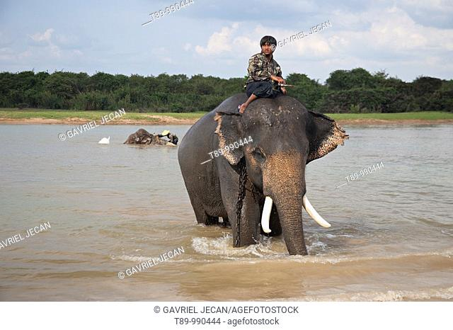 Elephant and Mahout crossing the river in Surin area, Thailand