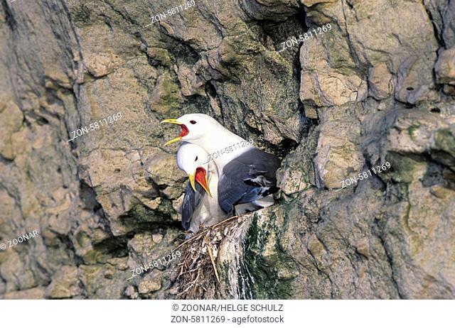 Dreizehenmoewen balzen auf ihrem Nest am Vogelfelsen / Black-legged Kittiwakes court on their nest at a bird rock - (Kittiwake) / Rissa tridactyla