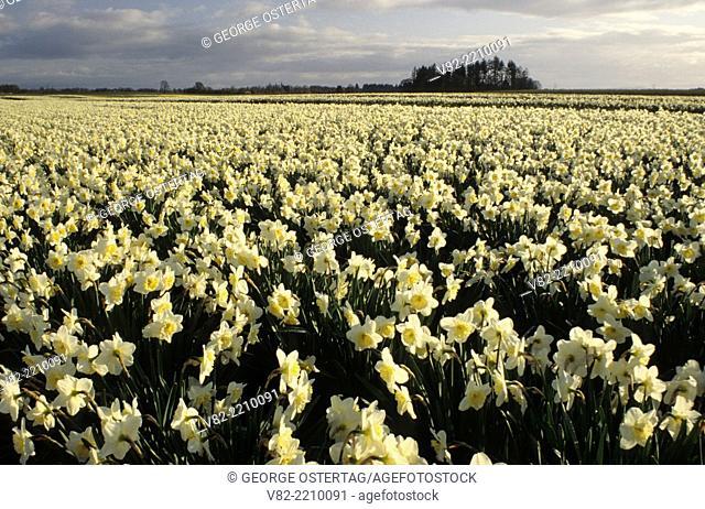 Daffodil field, Wooden Shoe Bulb Co., Clackamas County, Oregon