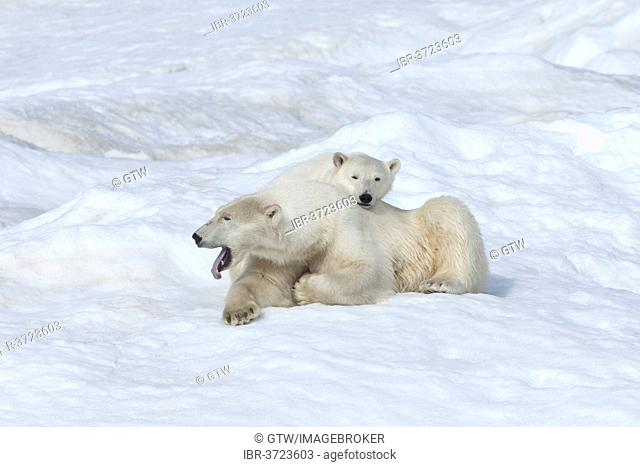 Polar Bears (Ursus maritimus), mother with a cub, 2 years, Wrangel Island, Far Eastern Federal District, Russia