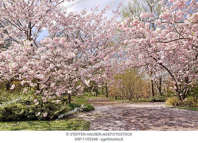 Autumn cherry Prunus subhirtella 'Accolade'
