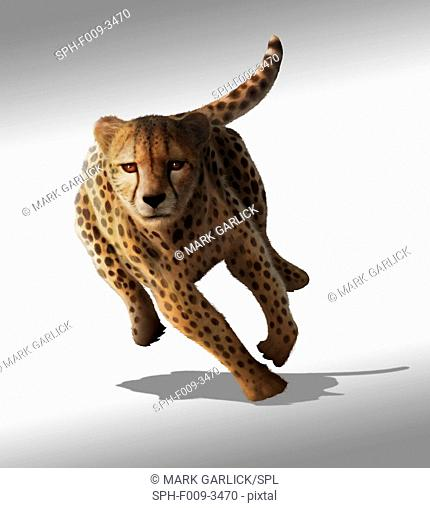 Artwork of a sprinting cheetah (Acinonyx jubatus). Cheetahs hunt herbivores such as gazelles and zebras, creeping to within a few dozen metres of their prey...