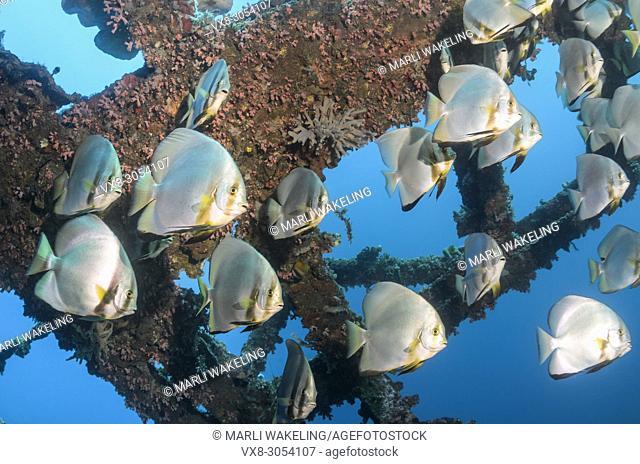 Longfin spadefish, Platax teira, Anilao, Batangas, Philippines, Pacific