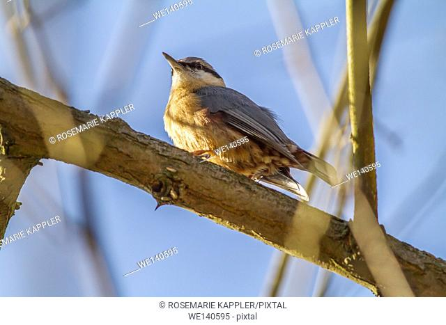 Germany, Saarland, Homburg, A nuthatch is sitting on a branch