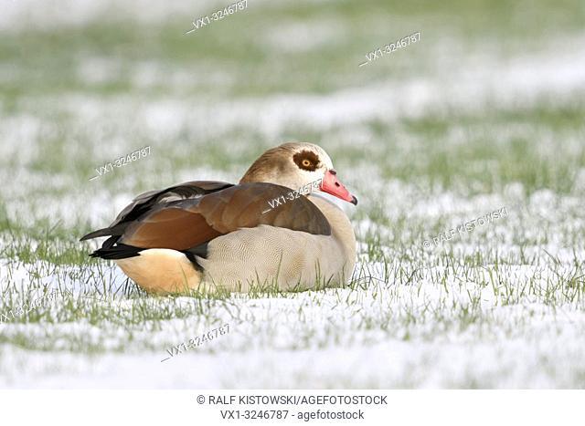 Egyptian Goose / Nilgans (Alopochen aegyptiacus) in winter, lying, resting on snow covered farmland, wildlife, Europe.