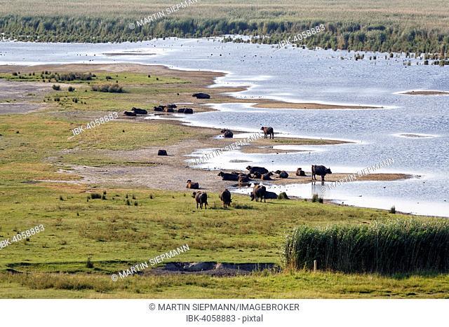 Herd of water buffalo (Bubalus arnee), National Park Lake Neusiedl, Seewinkel, Illmitz, Northern Burgenland, Burgenland, Austria