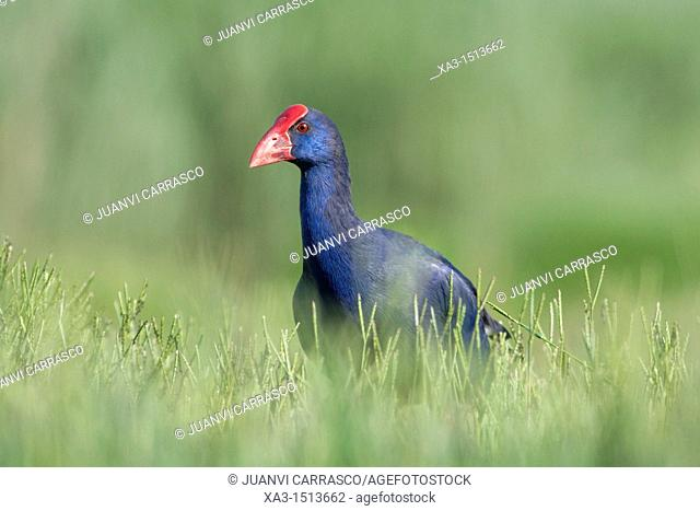 Purple swamphen , Porphyrio porphyrio, Valencia, Spain