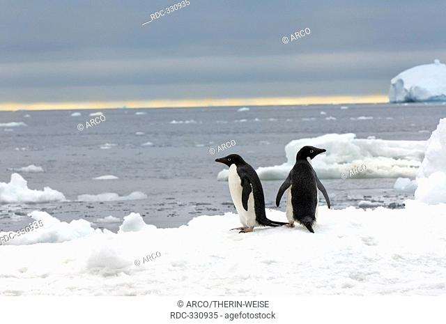 Adelie Penguins on icefloe, Brown Bluff, Antarctic peninsula / Pygoscelis adeliae / side
