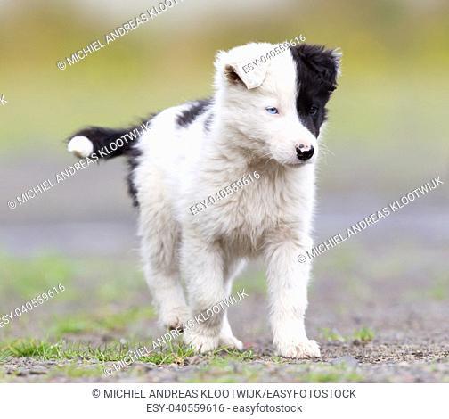Border Collie puppy on a farm, one blue eye